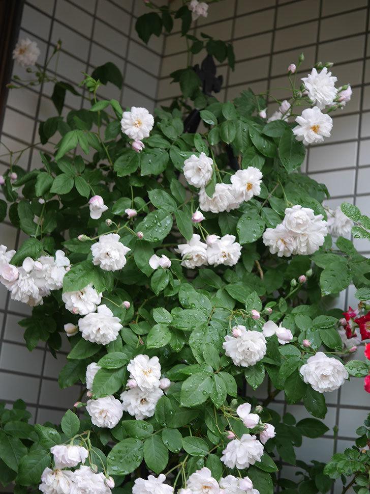 ブラッシュ・ノワゼット(半ツルバラ)の花がたくさん咲いた。2020年-019.jpg