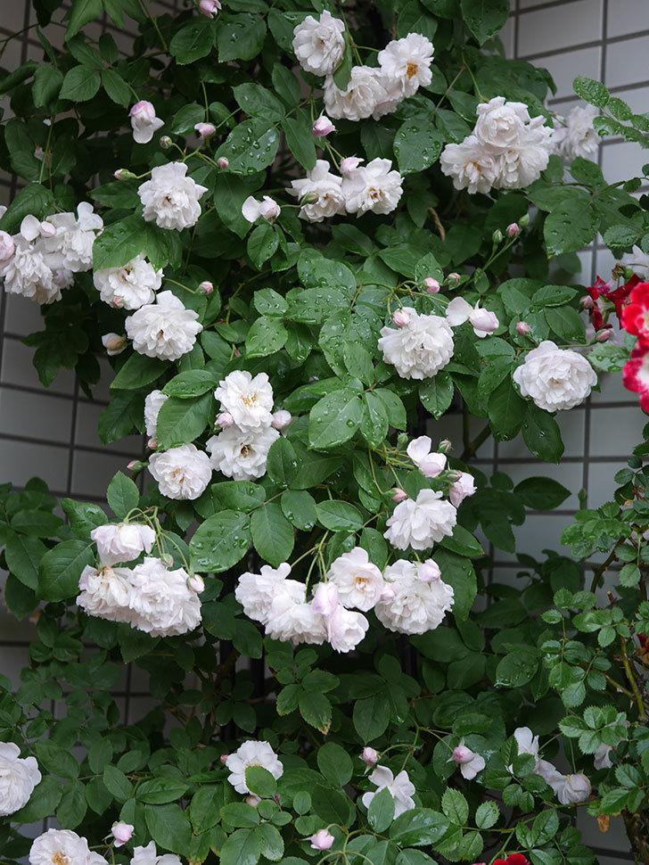 ブラッシュ・ノワゼット(半ツルバラ)の花がたくさん咲いた。2020年-020.jpg