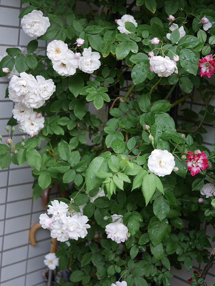 ブラッシュ・ノワゼット(半ツルバラ)の花がたくさん咲いた。2020年-021.jpg