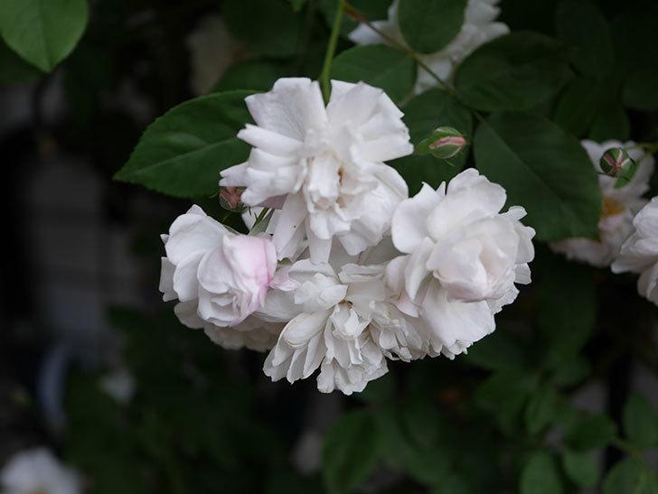ブラッシュ・ノワゼット(半ツルバラ)の花がたくさん咲いた。2020年-022.jpg