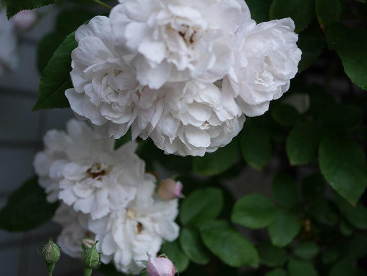 ブラッシュ・ノワゼット(半ツルバラ)の花がたくさん咲いた。2020年-023.jpg