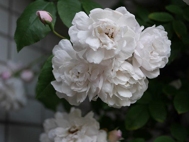 ブラッシュ・ノワゼット(半ツルバラ)の花がたくさん咲いた。2020年-024.jpg