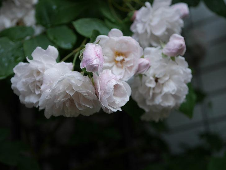 ブラッシュ・ノワゼット(半ツルバラ)の花がたくさん咲いた。2020年-025.jpg