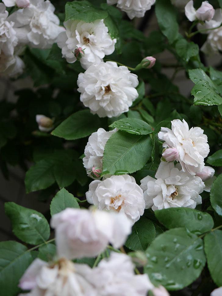 ブラッシュ・ノワゼット(半ツルバラ)の花がたくさん咲いた。2020年-026.jpg