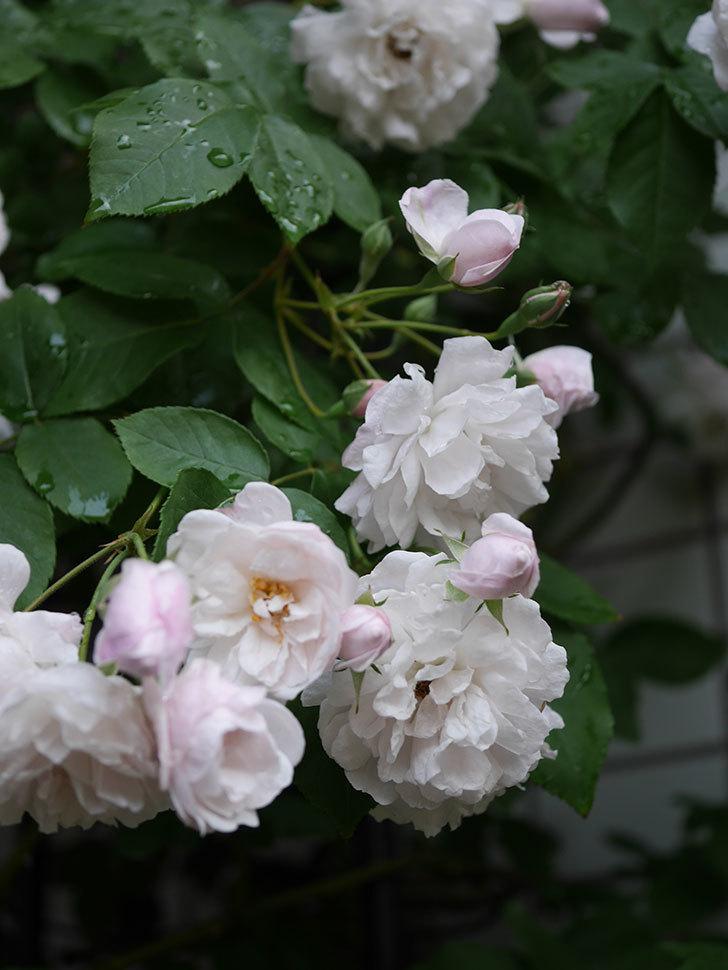 ブラッシュ・ノワゼット(半ツルバラ)の花がたくさん咲いた。2020年-027.jpg