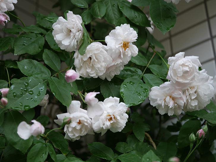ブラッシュ・ノワゼット(半ツルバラ)の花がたくさん咲いた。2020年-028.jpg