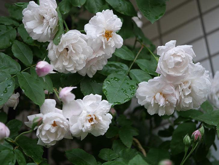 ブラッシュ・ノワゼット(半ツルバラ)の花がたくさん咲いた。2020年-029.jpg