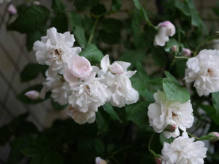 ブラッシュ・ノワゼット(半ツルバラ)の花がたくさん咲いた。2020年-030.jpg