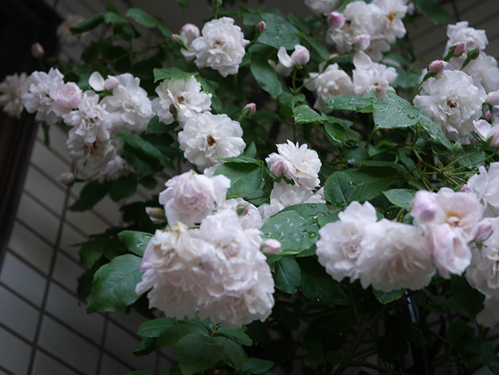 ブラッシュ・ノワゼット(半ツルバラ)の花がたくさん咲いた。2020年-031.jpg