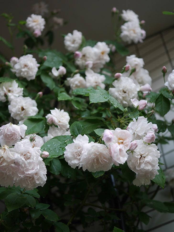 ブラッシュ・ノワゼット(半ツルバラ)の花がたくさん咲いた。2020年-032.jpg