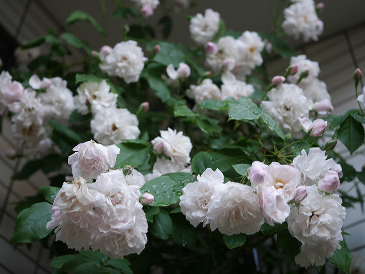 ブラッシュ・ノワゼット(半ツルバラ)の花がたくさん咲いた。2020年-033.jpg