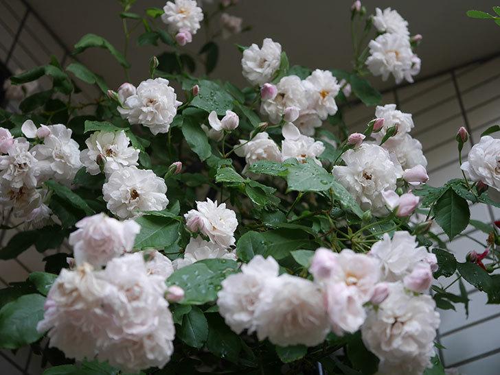 ブラッシュ・ノワゼット(半ツルバラ)の花がたくさん咲いた。2020年-034.jpg