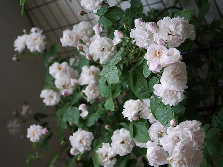 ブラッシュ・ノワゼット(半ツルバラ)の花がたくさん咲いた。2020年-035.jpg