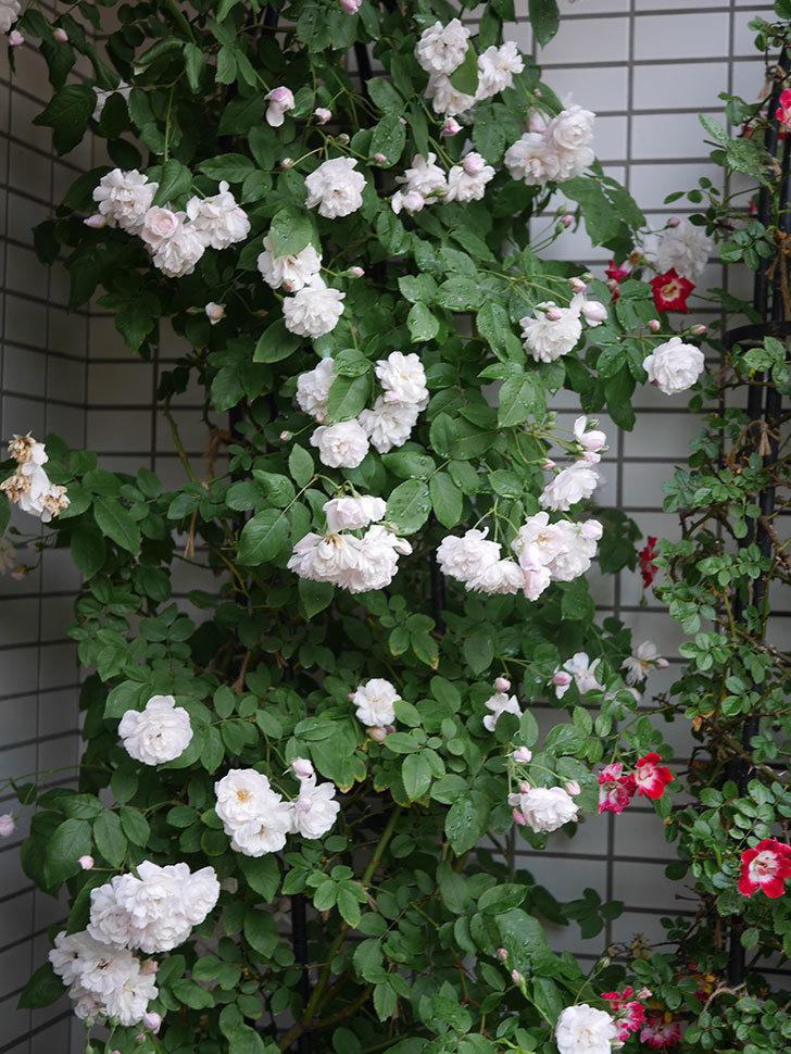 ブラッシュ・ノワゼット(半ツルバラ)の花がたくさん咲いた。2020年-036.jpg