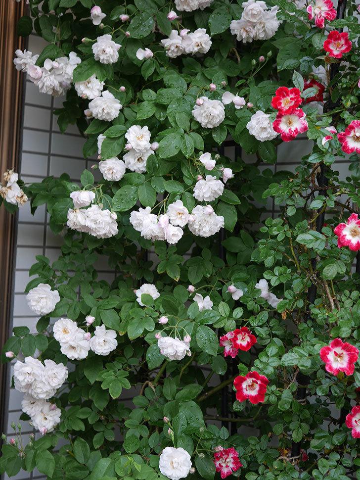ブラッシュ・ノワゼット(半ツルバラ)の花がたくさん咲いた。2020年-037.jpg