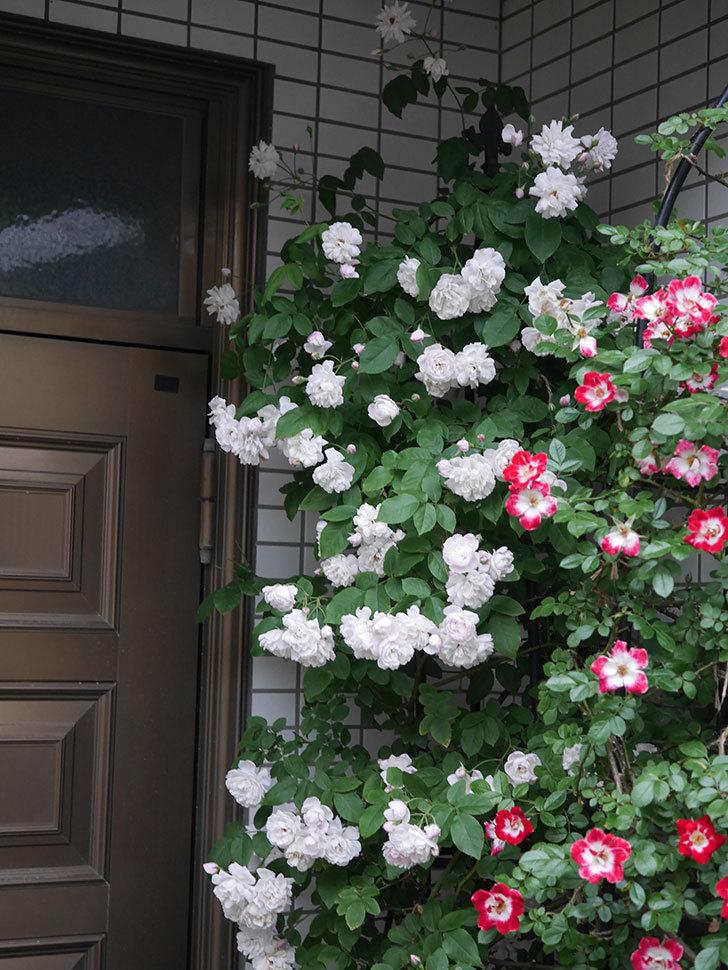 ブラッシュ・ノワゼット(半ツルバラ)の花がたくさん咲いた。2020年-038.jpg