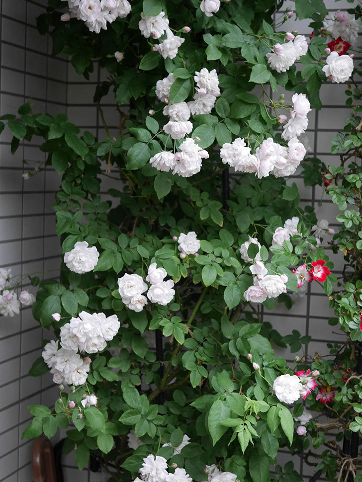 ブラッシュ・ノワゼット(半ツルバラ)の花がたくさん咲いた。2020年-039.jpg
