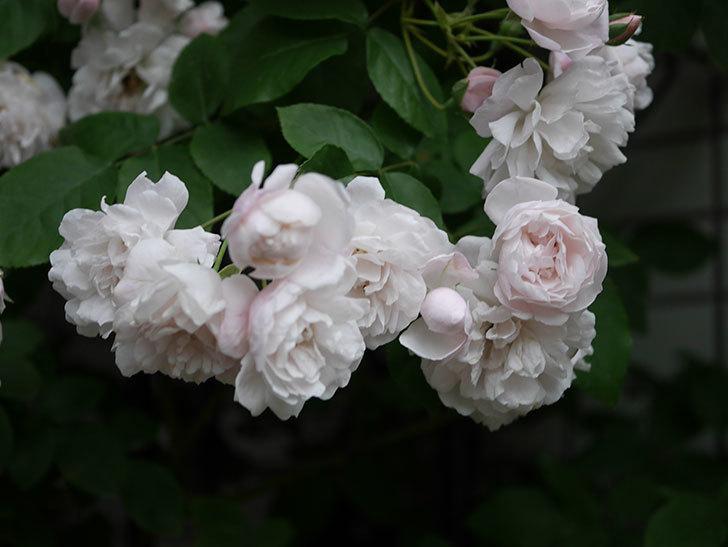 ブラッシュ・ノワゼット(半ツルバラ)の花がたくさん咲いた。2020年-040.jpg