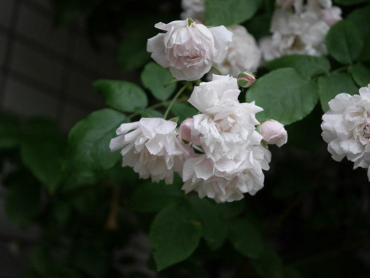 ブラッシュ・ノワゼット(半ツルバラ)の花がたくさん咲いた。2020年-041.jpg