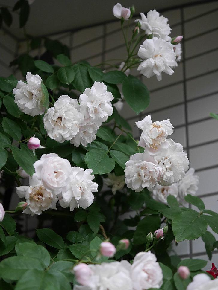 ブラッシュ・ノワゼット(半ツルバラ)の花がたくさん咲いた。2020年-043.jpg