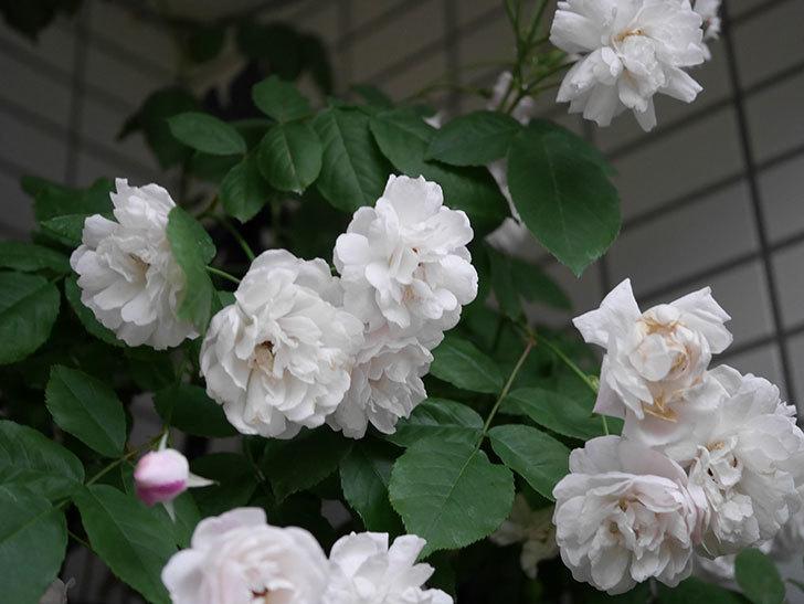 ブラッシュ・ノワゼット(半ツルバラ)の花がたくさん咲いた。2020年-044.jpg