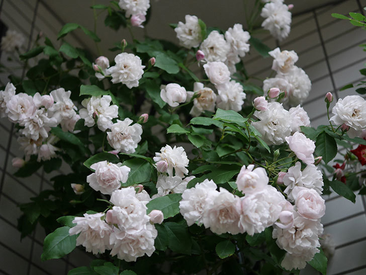 ブラッシュ・ノワゼット(半ツルバラ)の花がたくさん咲いた。2020年-045.jpg