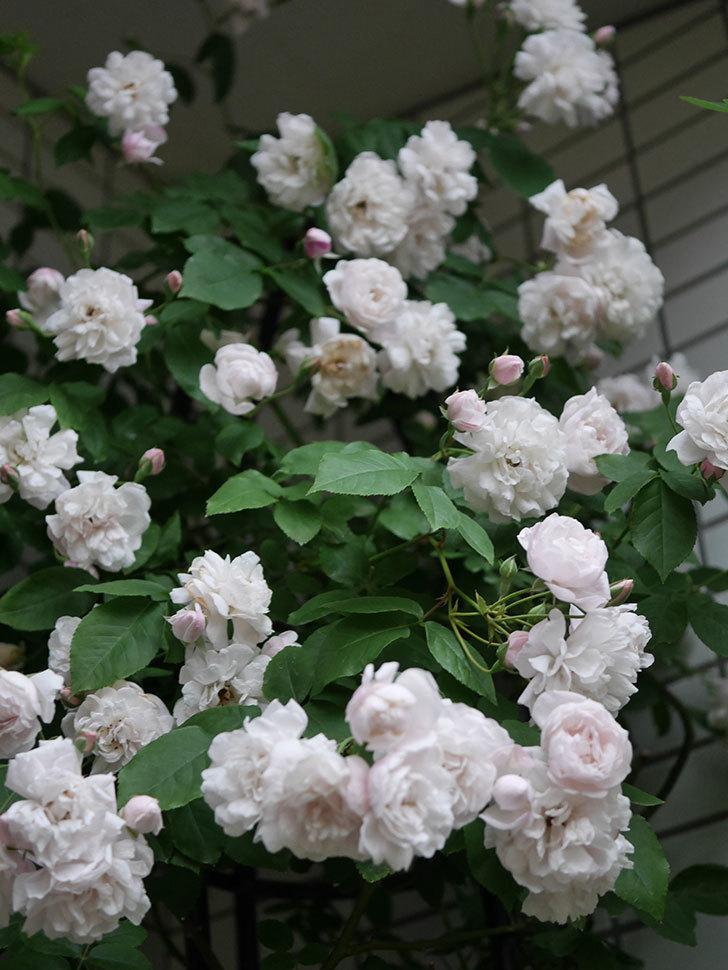 ブラッシュ・ノワゼット(半ツルバラ)の花がたくさん咲いた。2020年-046.jpg
