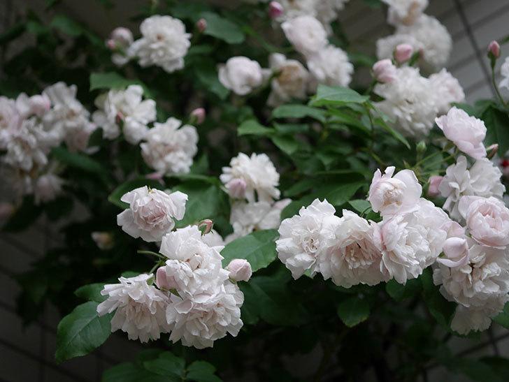 ブラッシュ・ノワゼット(半ツルバラ)の花がたくさん咲いた。2020年-047.jpg