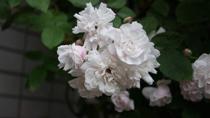 ブラッシュ・ノワゼット(半ツルバラ)の花がたくさん咲いた。2020年-048.jpg