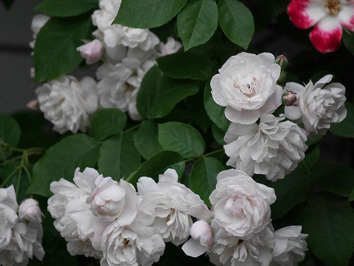 ブラッシュ・ノワゼット(半ツルバラ)の花がたくさん咲いた。2020年-049.jpg