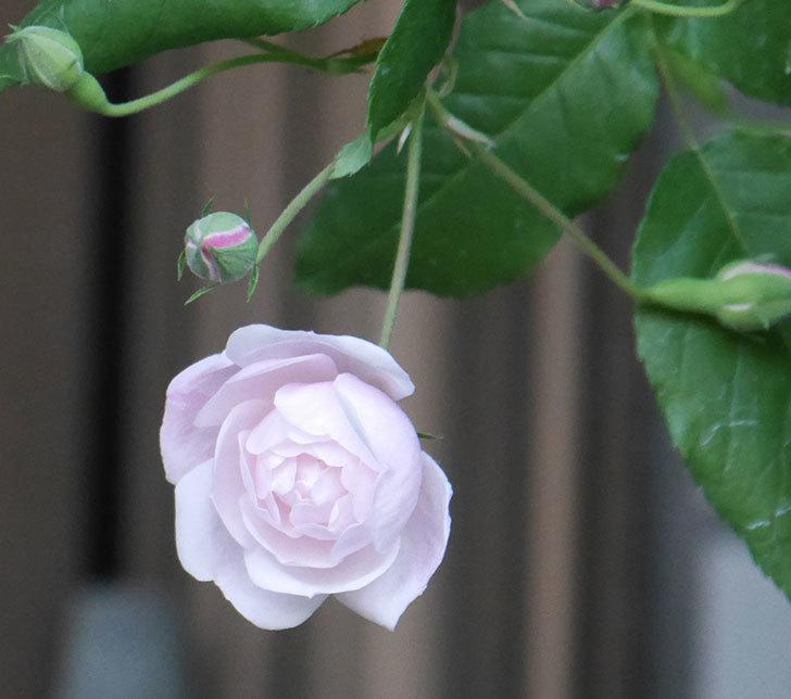 ブラッシュ・ノワゼット(半ツルバラ)の花が咲きだした。2020年-1.jpg