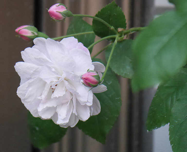 ブラッシュ・ノワゼット(半ツルバラ)の花が咲きだした。2020年-2.jpg