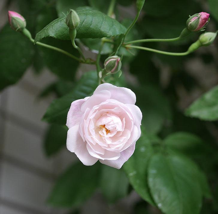 ブラッシュ・ノワゼット(半ツルバラ)の花が咲きだした。2020年-3.jpg