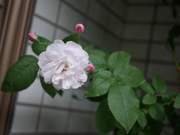 ブラッシュ・ノワゼット(半ツルバラ)の花が咲きだした。2020年-4.jpg