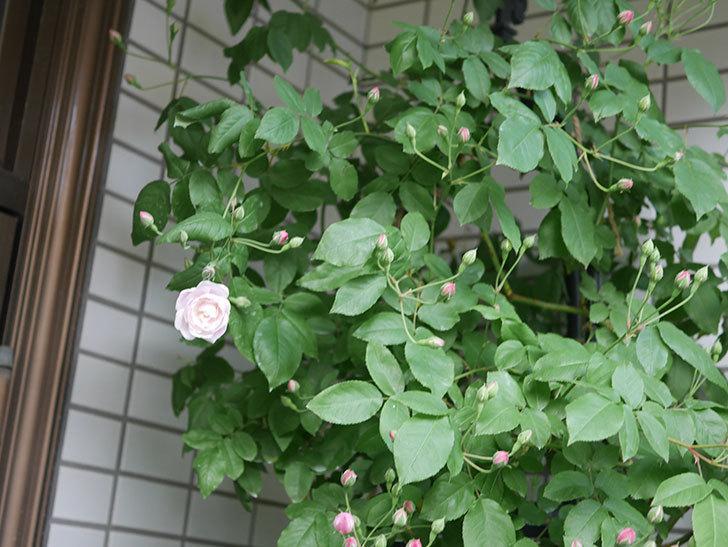 ブラッシュ・ノワゼット(半ツルバラ)の花が咲きだした。2020年-5.jpg