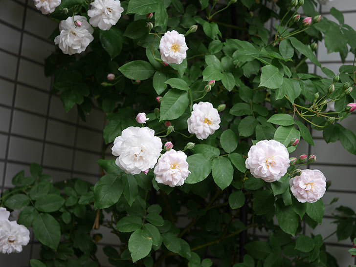 ブラッシュ・ノワゼット(半ツルバラ)の花が増えてきた。2020年-1.jpg