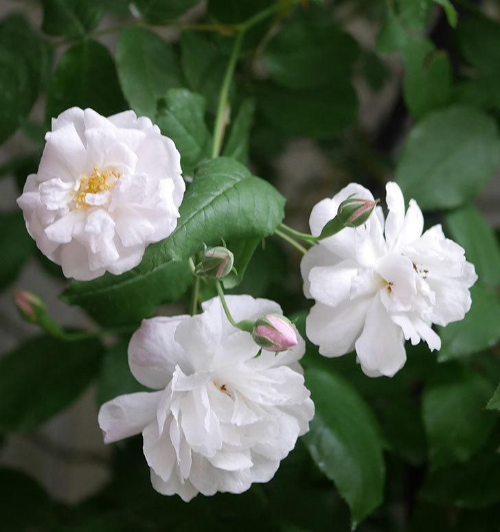 ブラッシュ・ノワゼット(半ツルバラ)の花が増えてきた。2020年-2.jpg