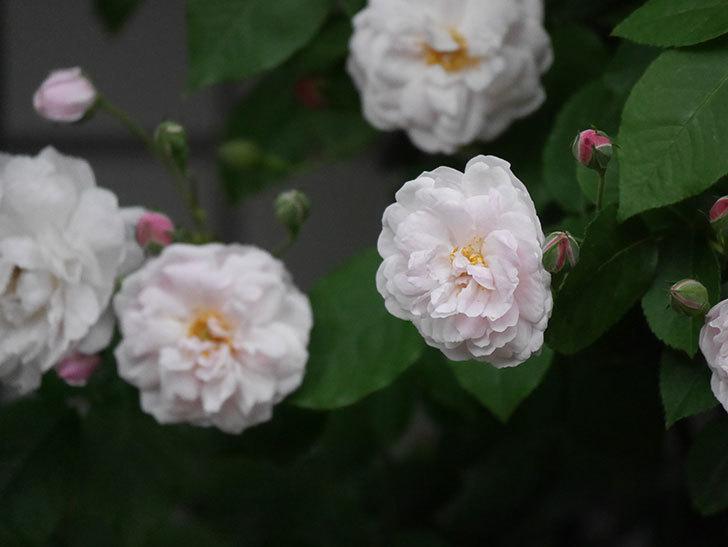 ブラッシュ・ノワゼット(半ツルバラ)の花が増えてきた。2020年-3.jpg