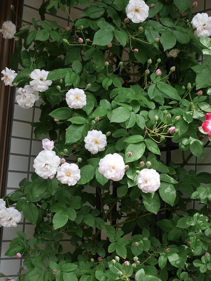ブラッシュ・ノワゼット(半ツルバラ)の花が増えてきた。2020年-4.jpg
