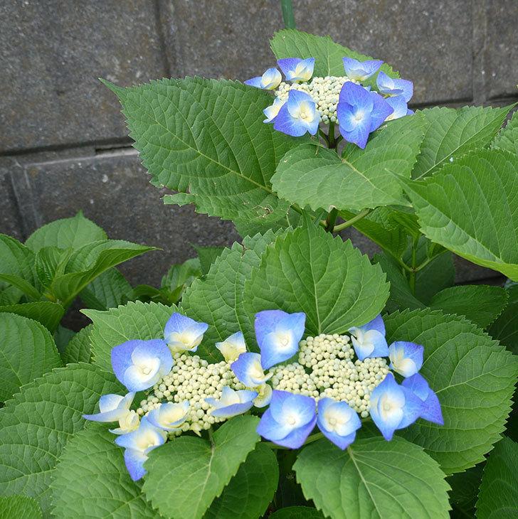 ブルースカイ(アジサイ)が咲いた。2017年-1.jpg
