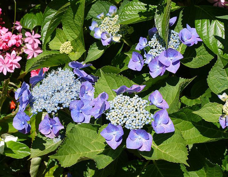 ブルースカイ(アジサイ)の花が咲いた。2016年-1.jpg
