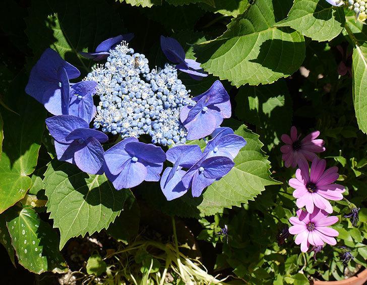 ブルースカイ(アジサイ)の花が咲いた。2016年-3.jpg