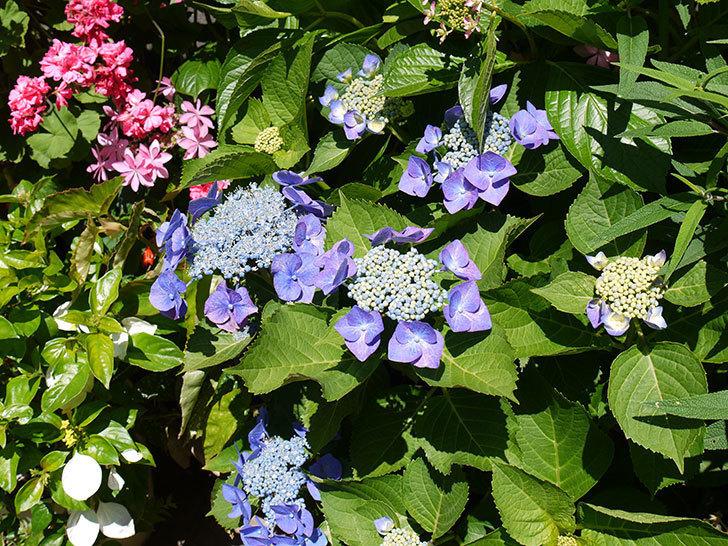 ブルースカイ(アジサイ)の花が咲いた。2016年-4.jpg