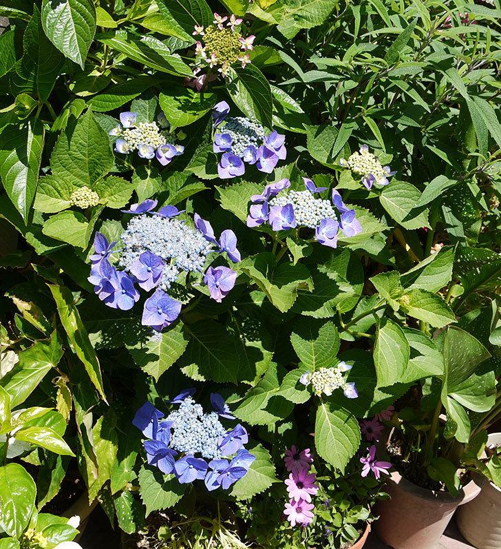 ブルースカイ(アジサイ)の花が咲いた。2016年-5.jpg