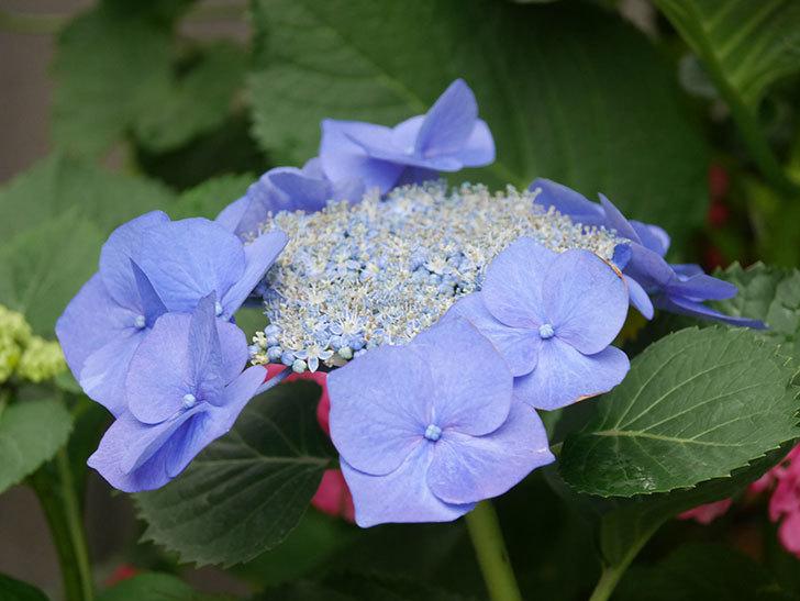 ブルースカイ(アジサイ)の花が綺麗に咲いた。2021年-001.jpg