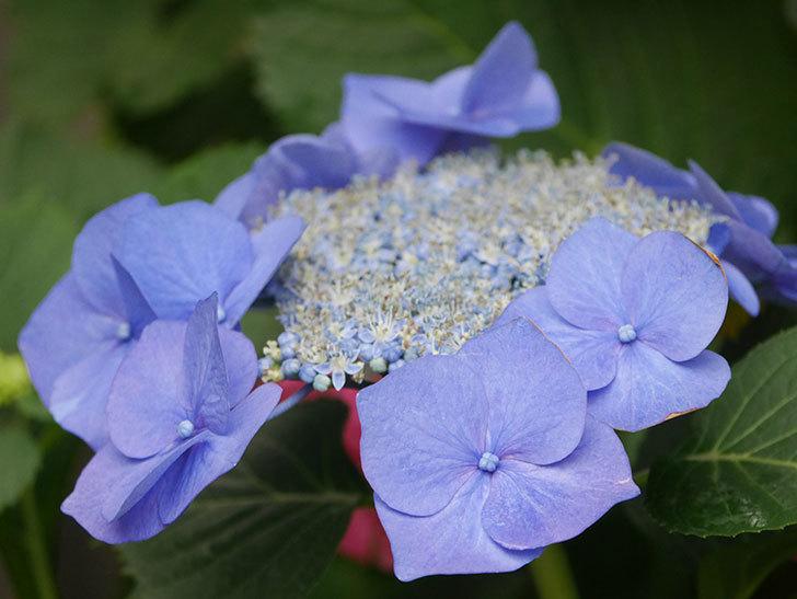 ブルースカイ(アジサイ)の花が綺麗に咲いた。2021年-002.jpg