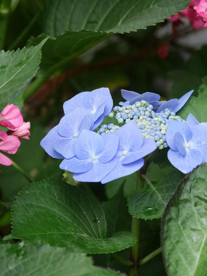 ブルースカイ(アジサイ)の花が綺麗に咲いた。2021年-004.jpg