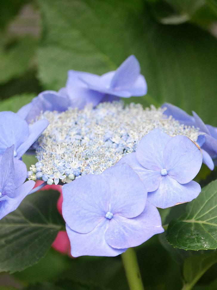 ブルースカイ(アジサイ)の花が綺麗に咲いた。2021年-005.jpg