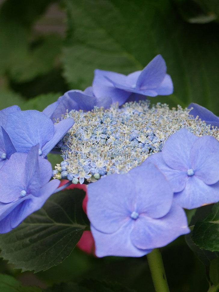ブルースカイ(アジサイ)の花が綺麗に咲いた。2021年-006.jpg
