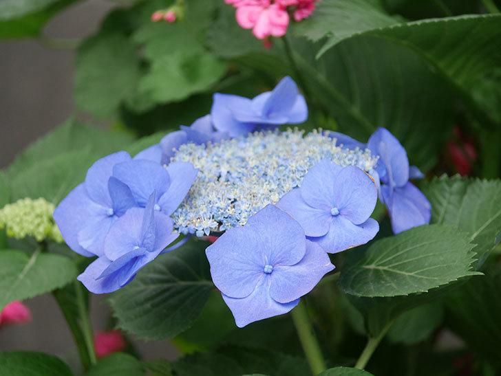 ブルースカイ(アジサイ)の花が綺麗に咲いた。2021年-007.jpg